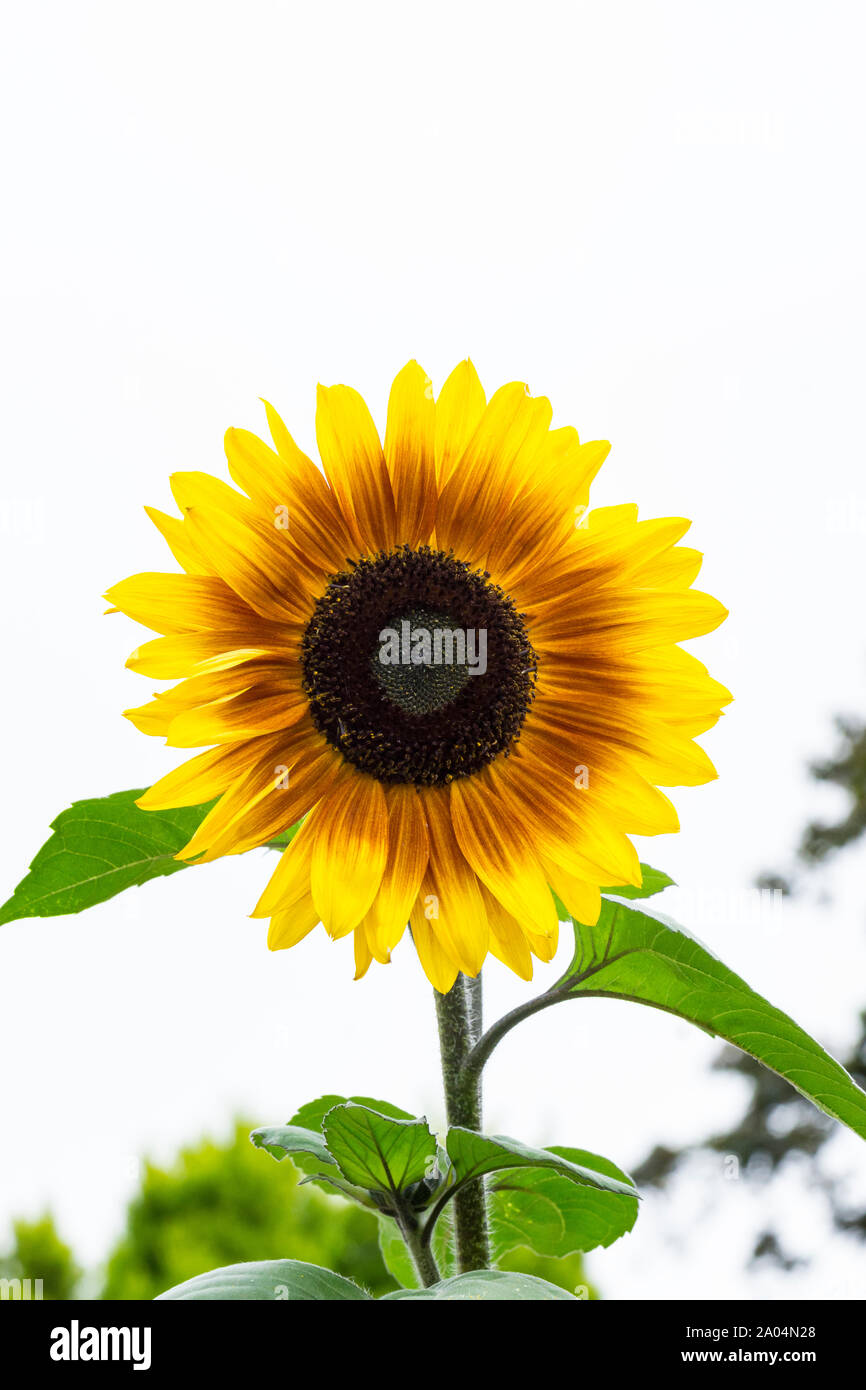 Sunflower Helios Flame Stock Photo