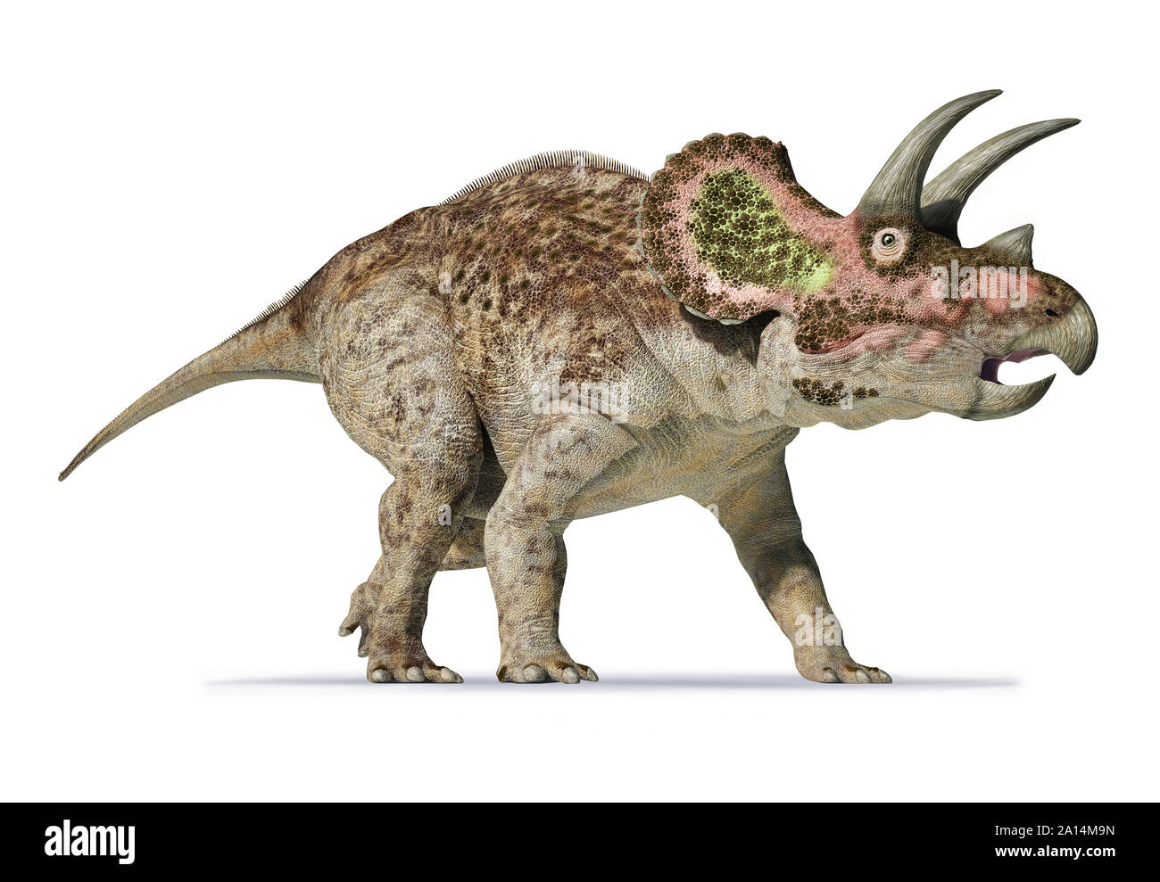 3D rendering of Triceratops on white background. Stock Photo