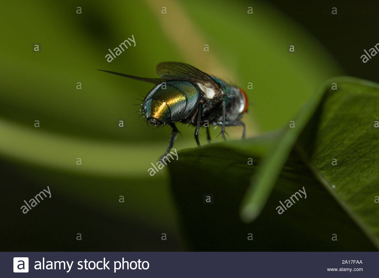a-green-bottle-blow-fly-lucilia-sericata