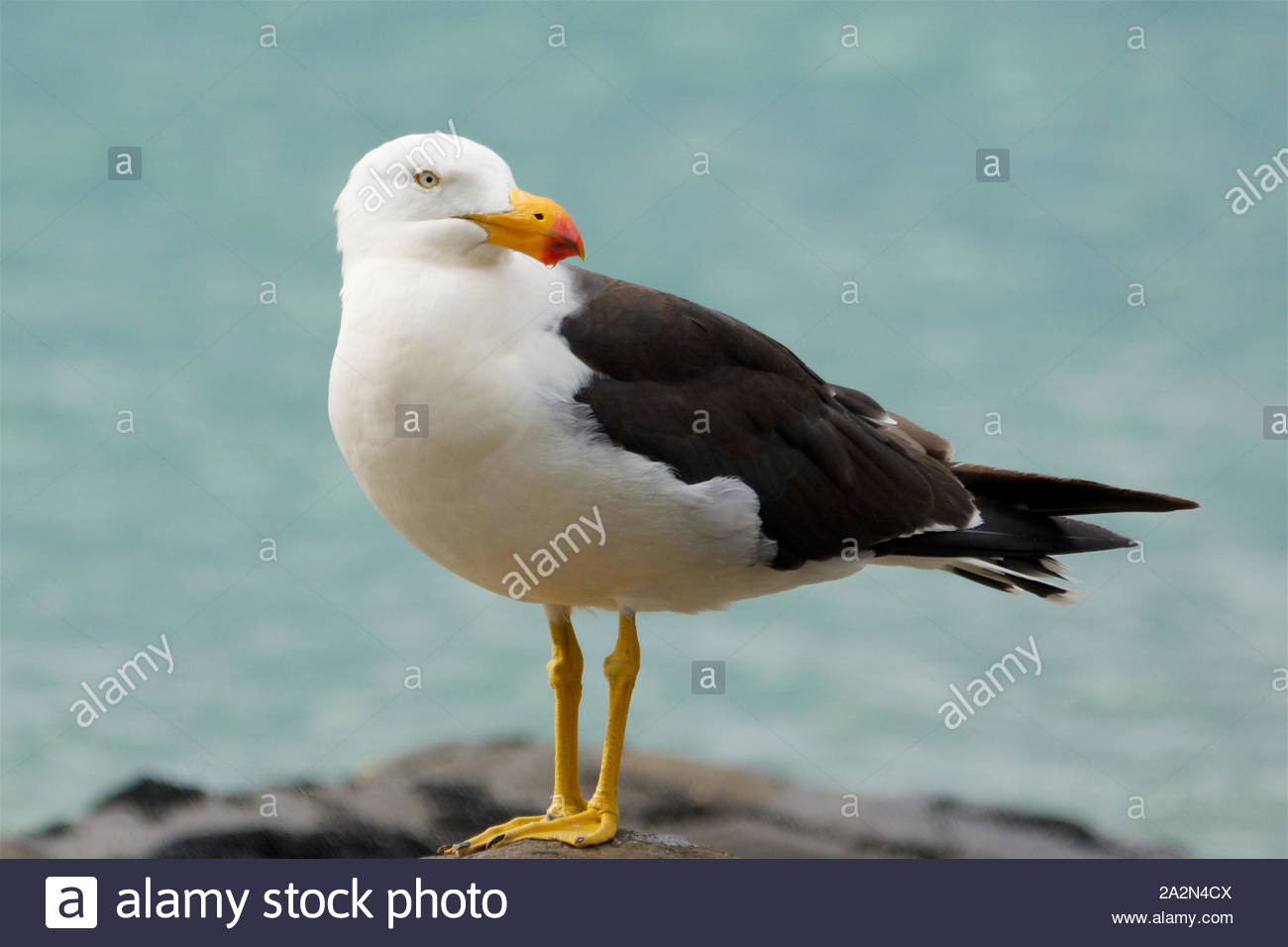 Pacific Gull (Larus pacificus) Stock Photo