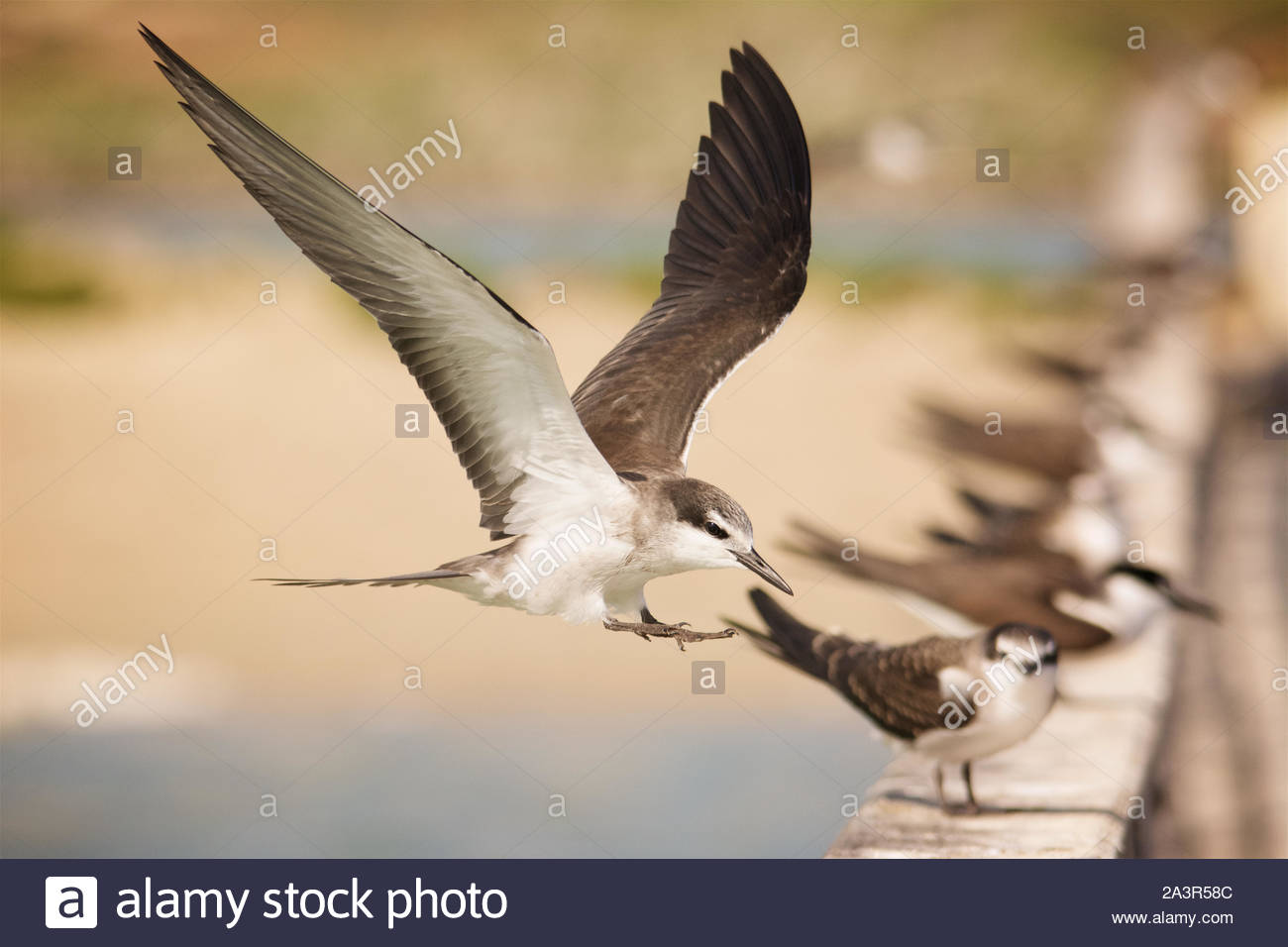A juvenile Bridled Tern coming in to land alongside a row of other Bridled Terns at Penguin Island, Western Australia Stock Photo