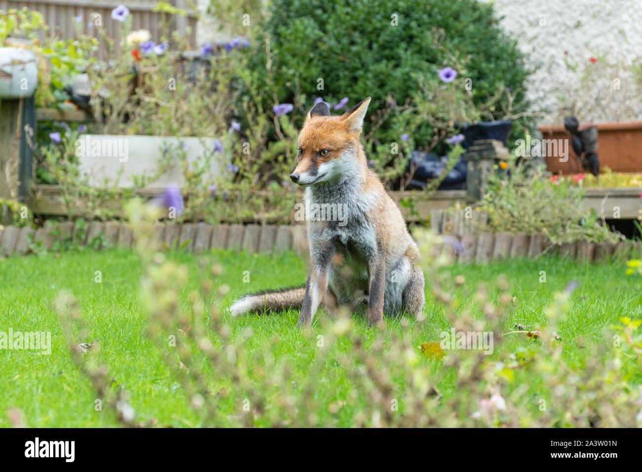 urban-fox-vulpes-vulpes-sitting-in-a-garden-uk-2A3W01N.jpg