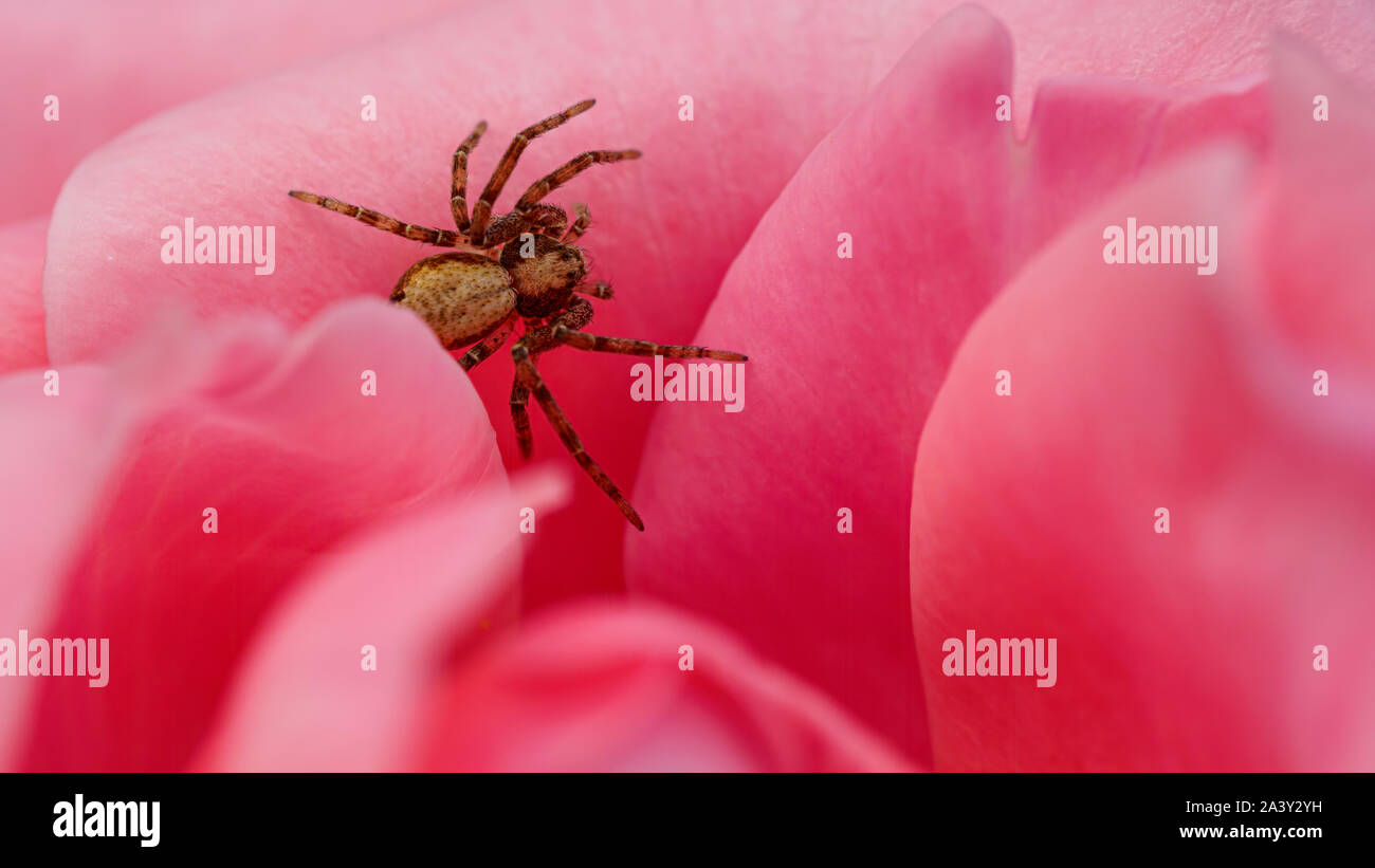 A small buzzing spider explores a pink rose head - Stock Image