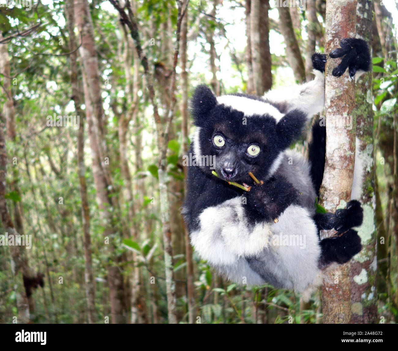 Wild Indri lemur (Indri indri), Parc Mitsinjo, Andasibe, Madagascar Stock Photo