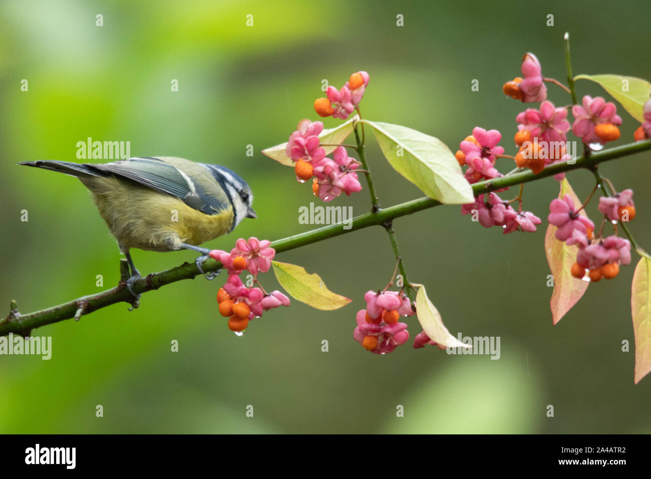 blue-tit-cyanistes-caeruleus-perched-in-a-spindle-tree-euonymus-europaea-during-autumn-with-pink-and-orange-berries-uk-2A4ATR2.jpg