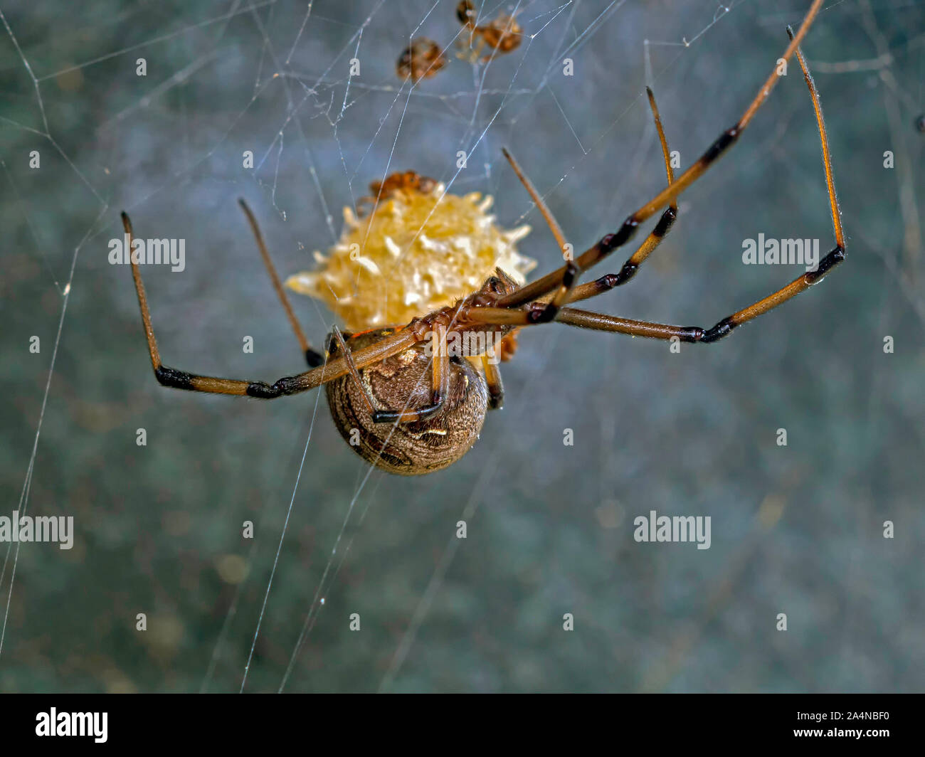 macro-shot-of-a-female-brown-widow-spider-latrodectus-geometricus-hanging-from-its-web-with-identifying-spiked-egg-sack-visible-in-background-2A4NBF0.jpg