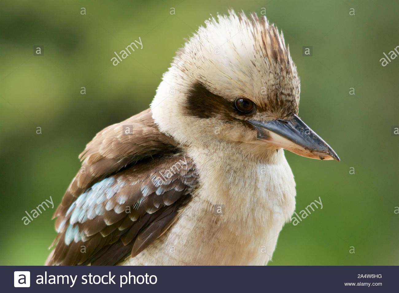 Portrait of a Laughing Kookaburra (Dacelo novaeguineae) Stock Photo