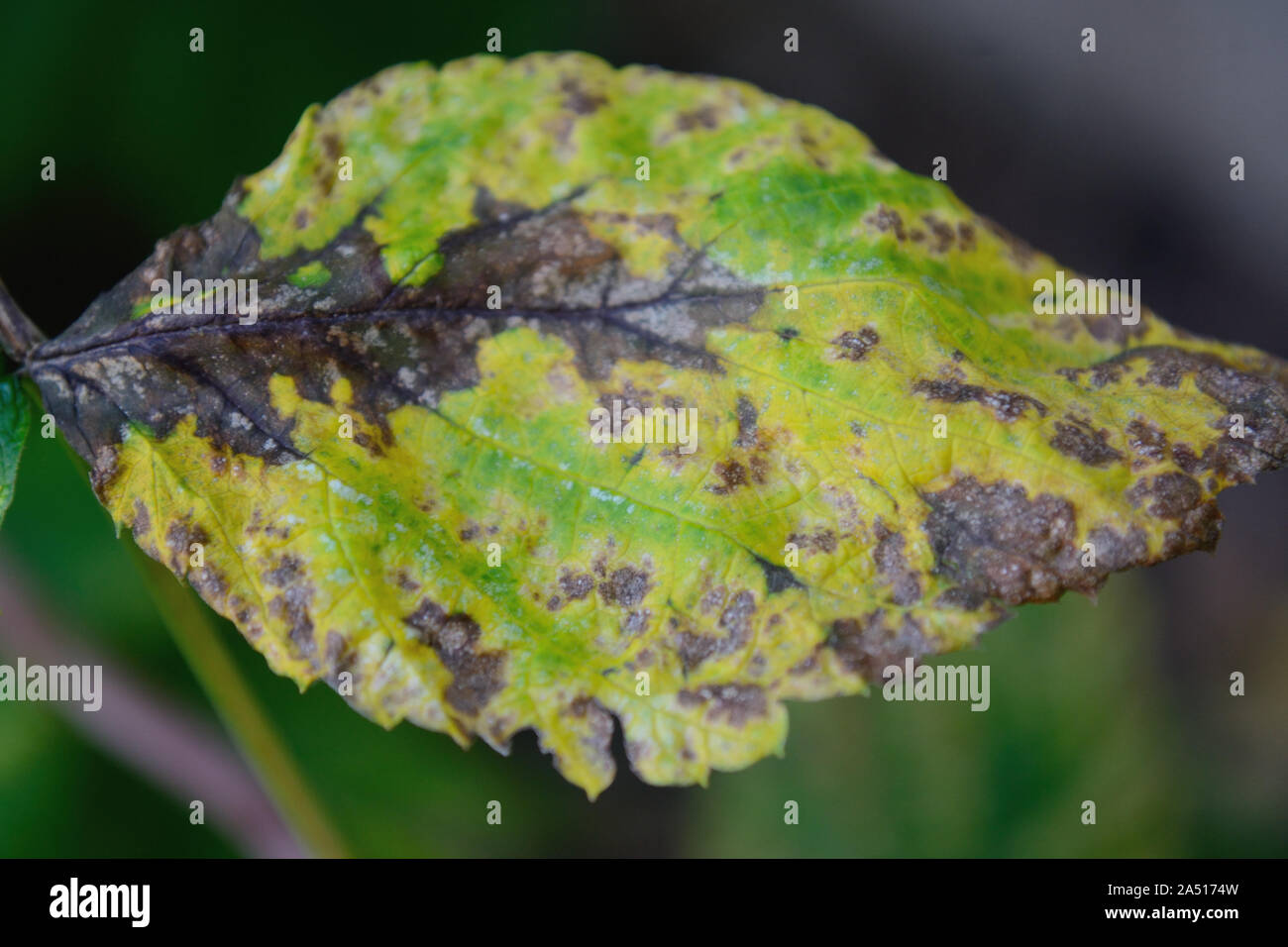 Bacterial blight on bean leaf, Pseudomonas syringae Stock Photo