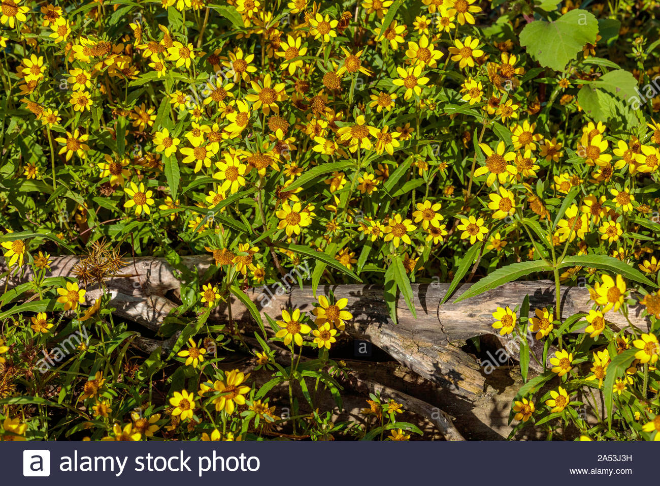 bidens-laevis-larger-bur-marigold-smooth