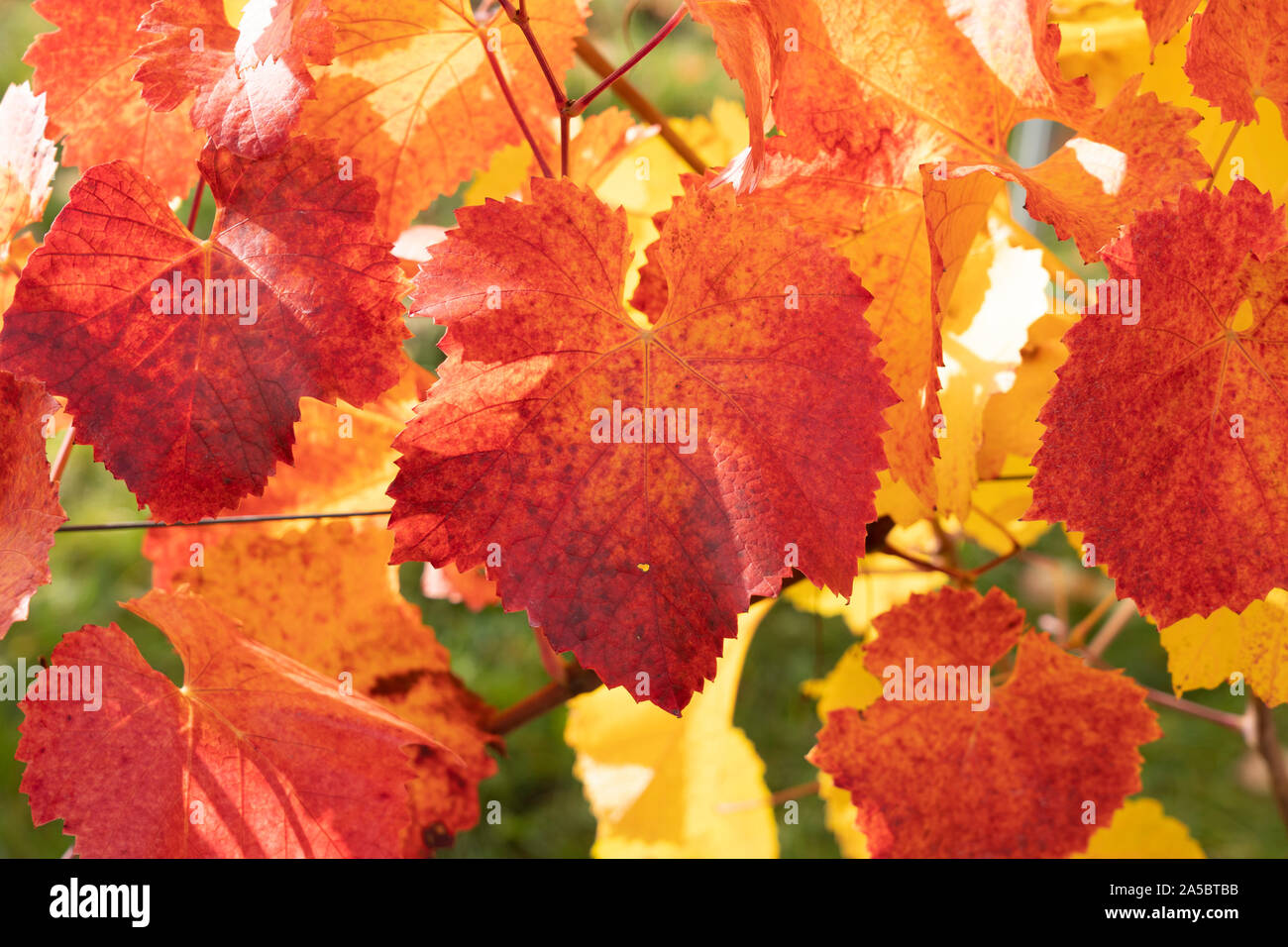a-closeup-of-vivid-red-and-yellow-leaves