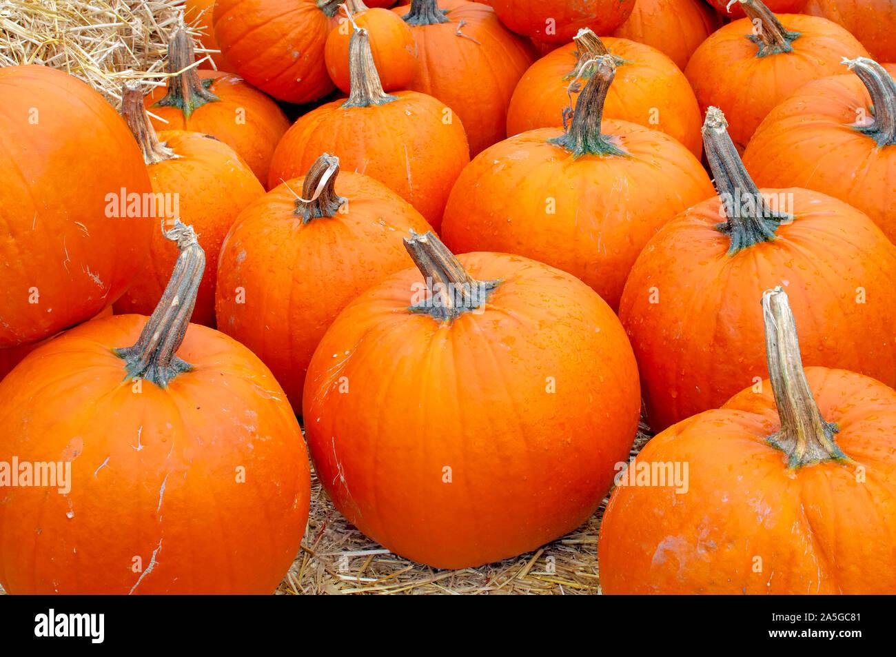 pumpkins-on-display-2A5GC81.jpg