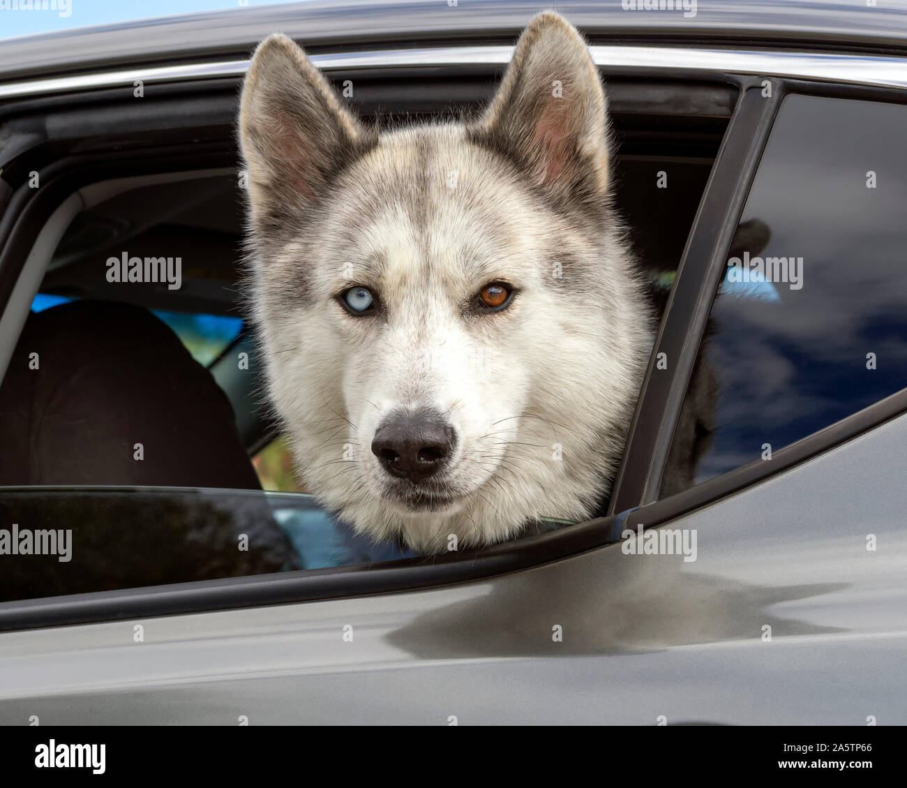 a-siberian-husky-with-one-blue-eye-and-one-brown-eye-heterochromia-sticking-its-head-out-the-rear-window-of-a-parked-car-2A5TP66.jpg