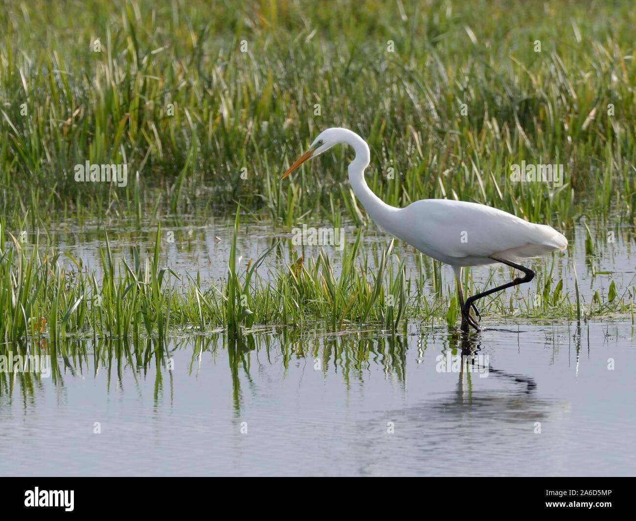 Great white egret (Egretta alba) hunting for fish in a marshland pool, Somerset Levels, UK, October. Stock Photo