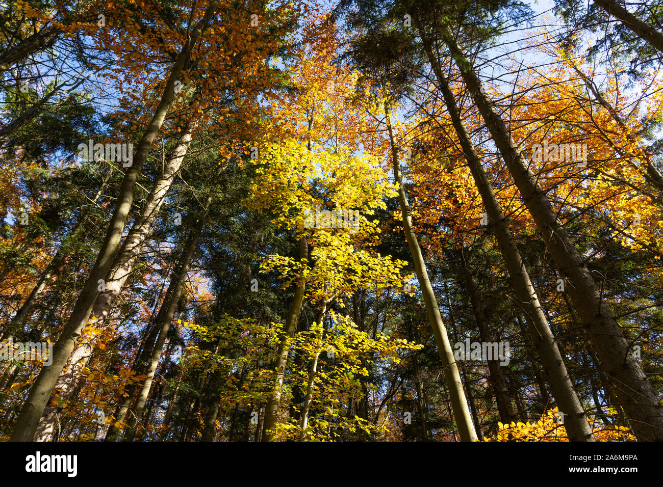 Colorful Beech trees (Fagus Sylvatica) and Douglas Firs (pseudotsuga menziesii) in a forest in autumn / fall with yellow and orange leaves, Austria Stock Photo