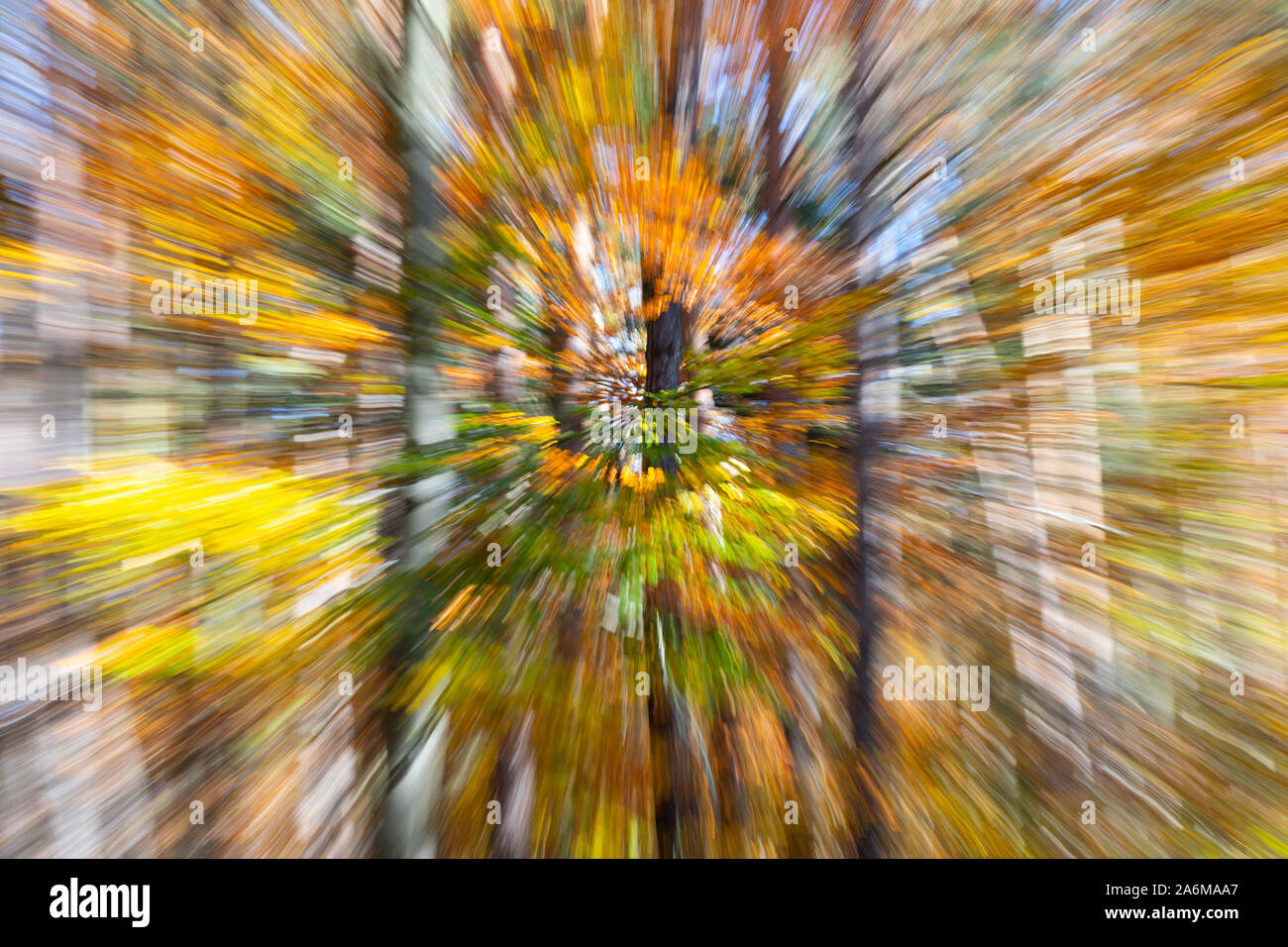 An abstract twist zoom blurred image of deciduous common beech trees in autumn / fall with colourful yellow and orange leaves in Austria, Europe Stock Photo