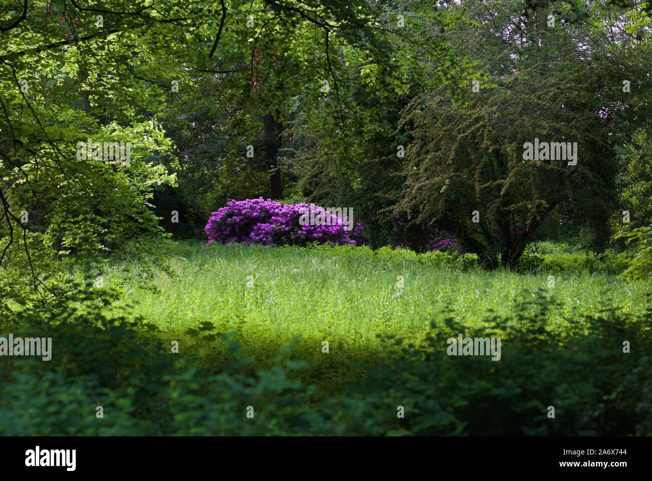 purple-blooming-bush-in-a-clearing-2A6X744.jpg