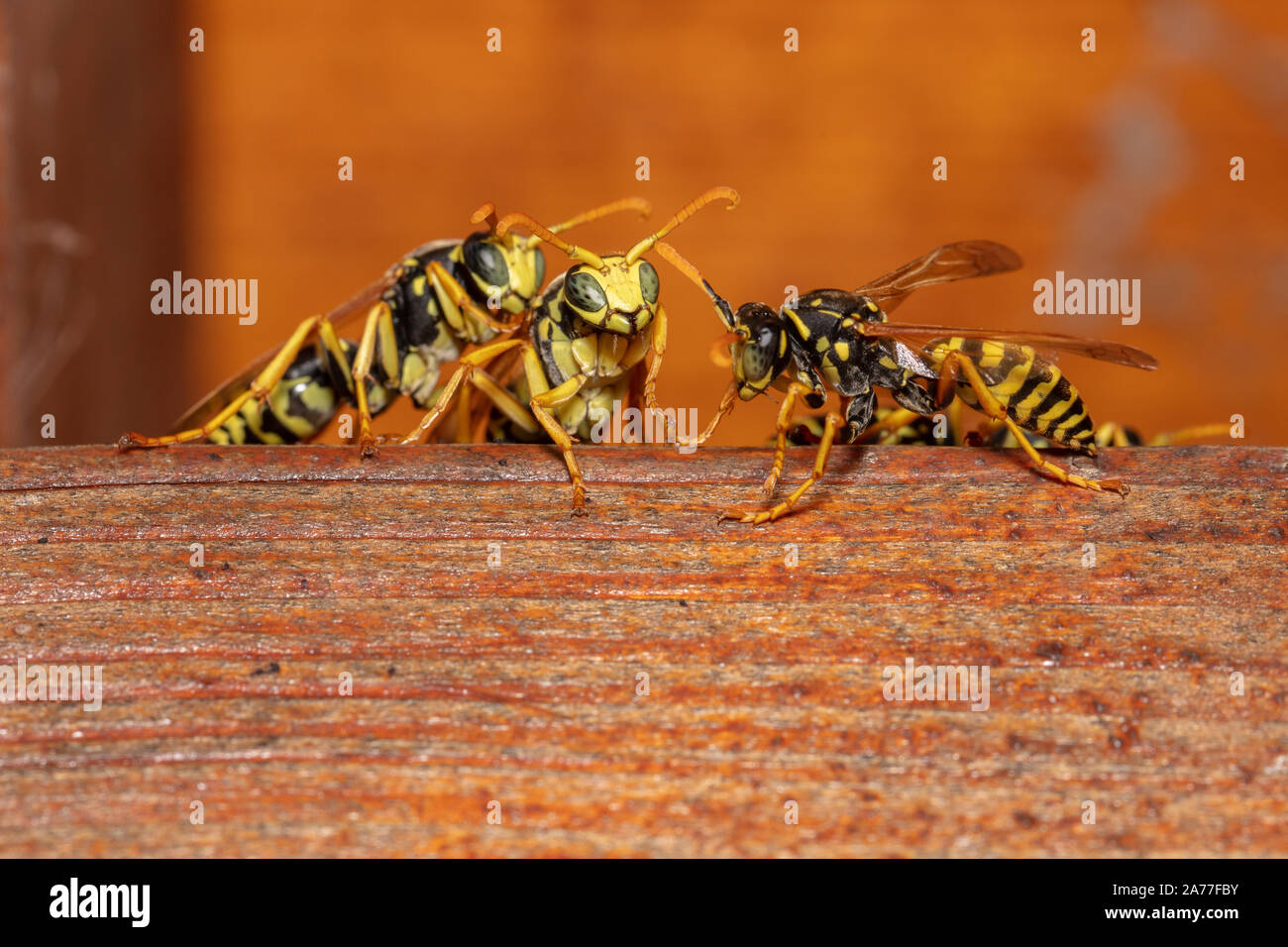 Detailed macro shot of european paper wasp (Polistes dominula) Stock Photo