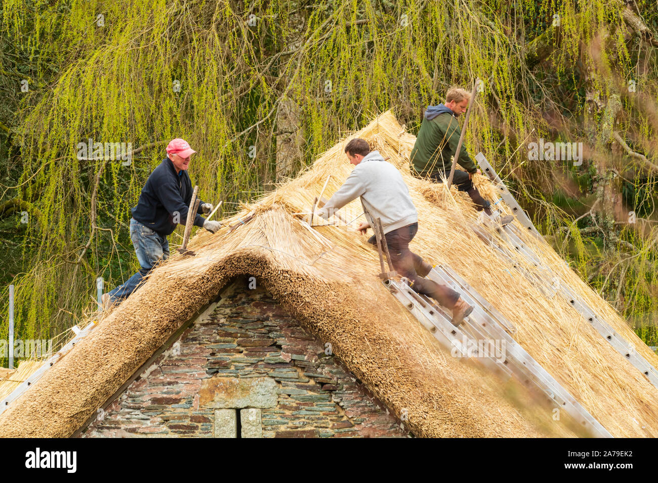 traditional-craftwork-employed-in-thatching-the-old-barn-at-the-garden-house-buckland-monachorum-devon-2A79EK2.jpg