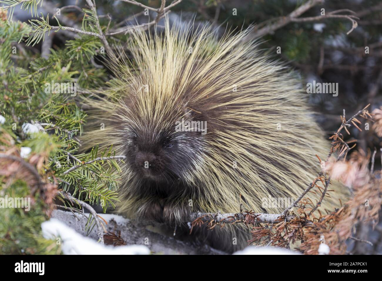 north-american-porcupine-erethizon-dorsa