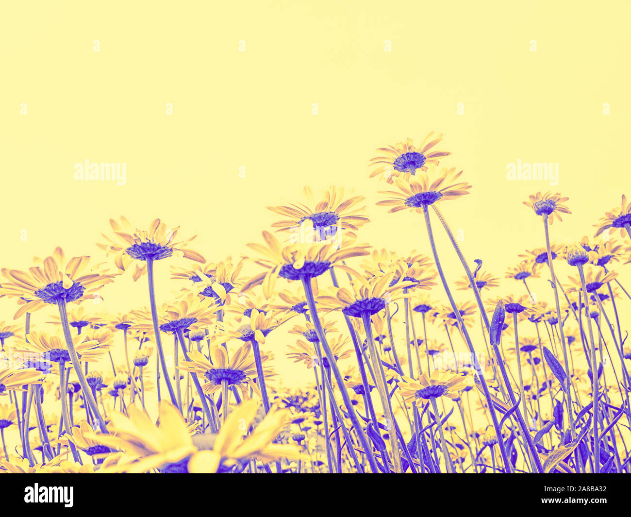daisies-reach-for-the-sky-filtered-purple-and-yellow-spring-summer-nature-background-digital-wallpaper-2A8BA32.jpg