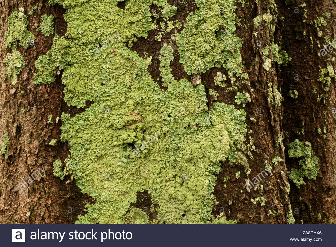 lichen-growing-on-the-bark-of-a-sheoak-tree-in-canning-river-regional-park-western-australia-2A8DYX6.jpg
