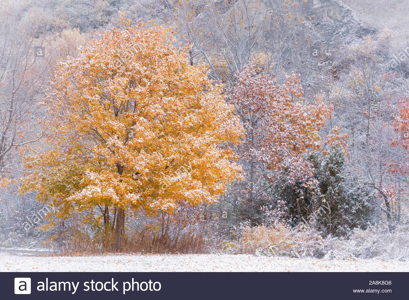 first-snow-in-autumn-on-a-maple-tree-wit