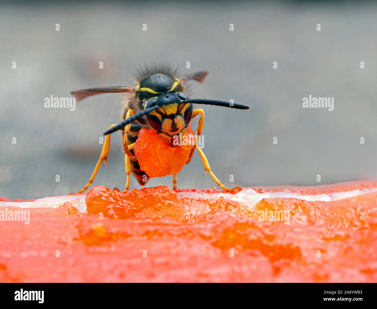 German yellowjacket wasp, Vespula germanica, carrying a piece of sockeye salmon flesh it chewed off of a salmon carcass to take back to its nest to fe Stock Photo