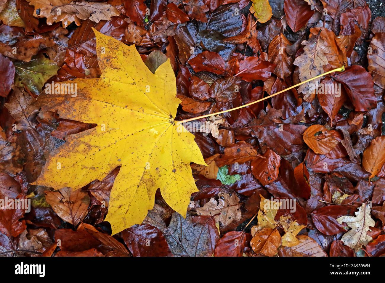 HotpixUK,@HotpixUK,GoTonySmith,Cheshire,England,Warrington,UK,leaves on leaves,Sycamore Leaves,fall