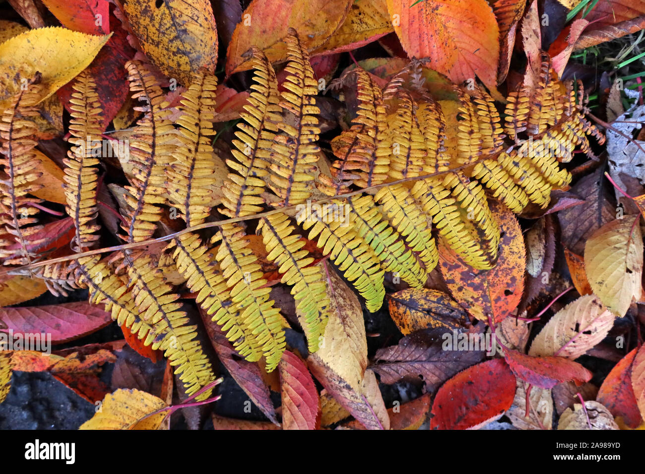 HotpixUK,@HotpixUK,GoTonySmith,Cheshire,England,Warrington,UK,Fern,WA4,Autumn Leaves,Sycamore Leaf,leaves on leaves,Sycamore Leaves,fall