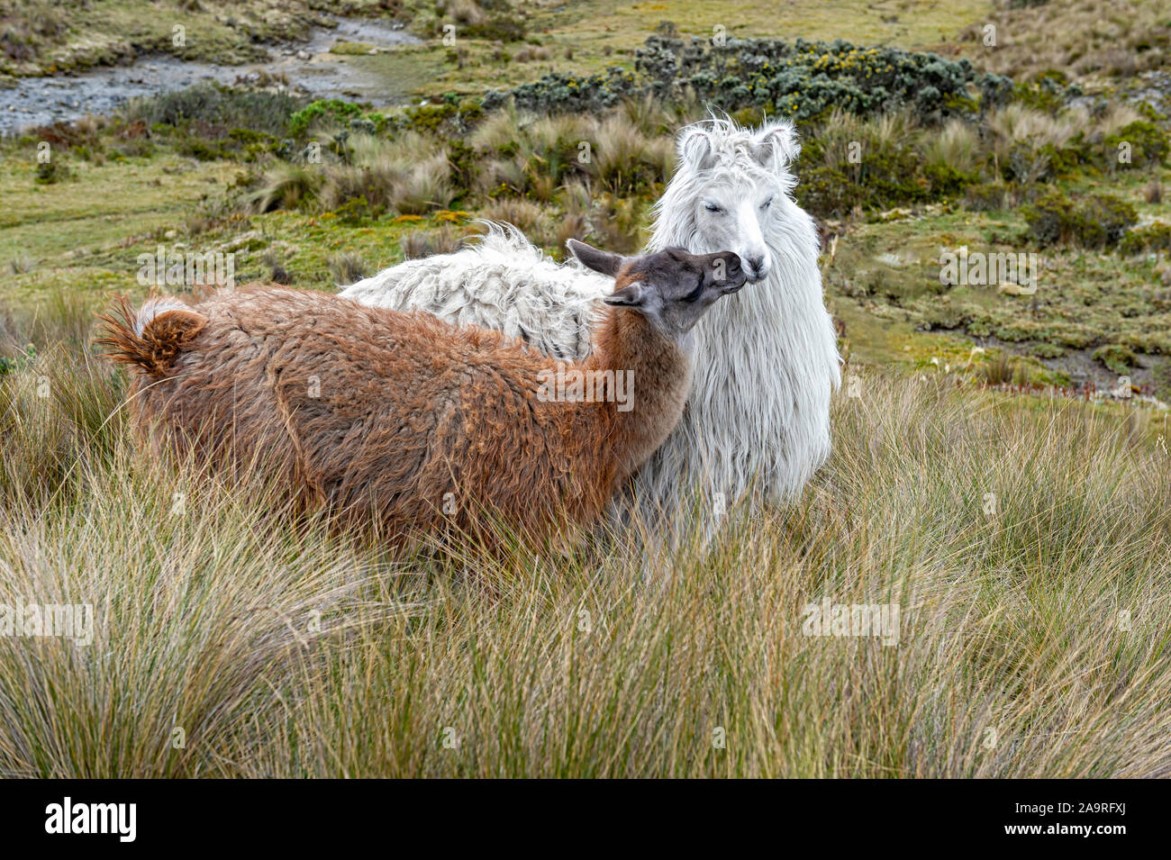 two-affectionate-llamas-lama-glama-kissing-in-the-andes-mountains-ecuador-2A9RFXJ.jpg
