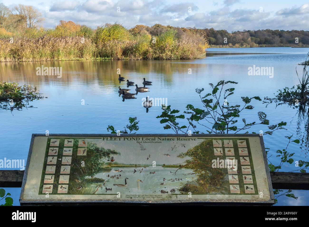 view-of-fleet-pond-in-hampshire-uk-during-autumn-with-an-information-board-and-canada-geese-on-the-water-2A9Y66Y.jpg