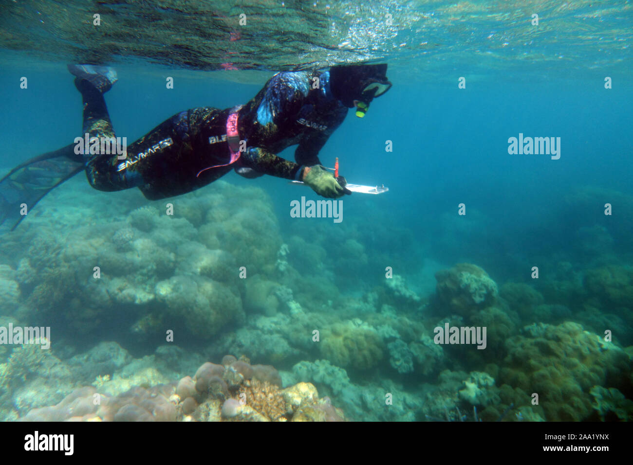 Snorkeller conducting underwater survey of coral health, Lizard Island, Great Barrier Reef, Queensland, Australia. No MR or PR Stock Photo