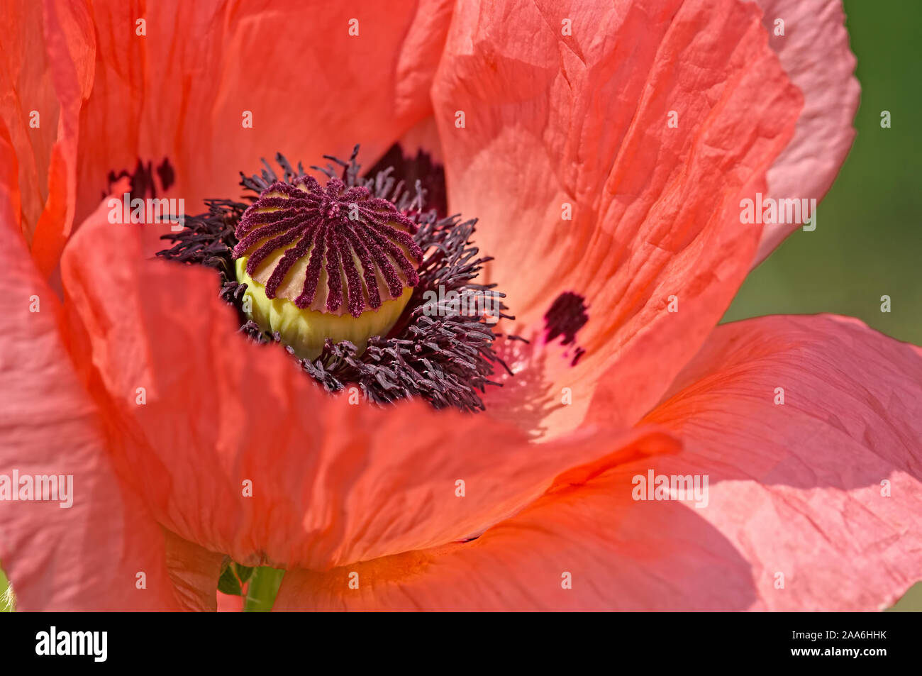 orange-oriental-poppy-centre-papaver-orientale-showing-its-crinkly-petals-2AA6HHK.jpg