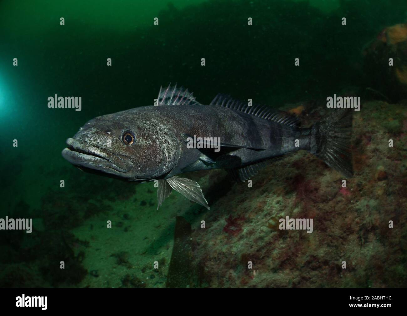 Antarctic toothfish, Dissostichus mawsoni. It's the largest midwater fish in the Southern Ocean, it is thought to fill the ecological role that sharks Stock Photo