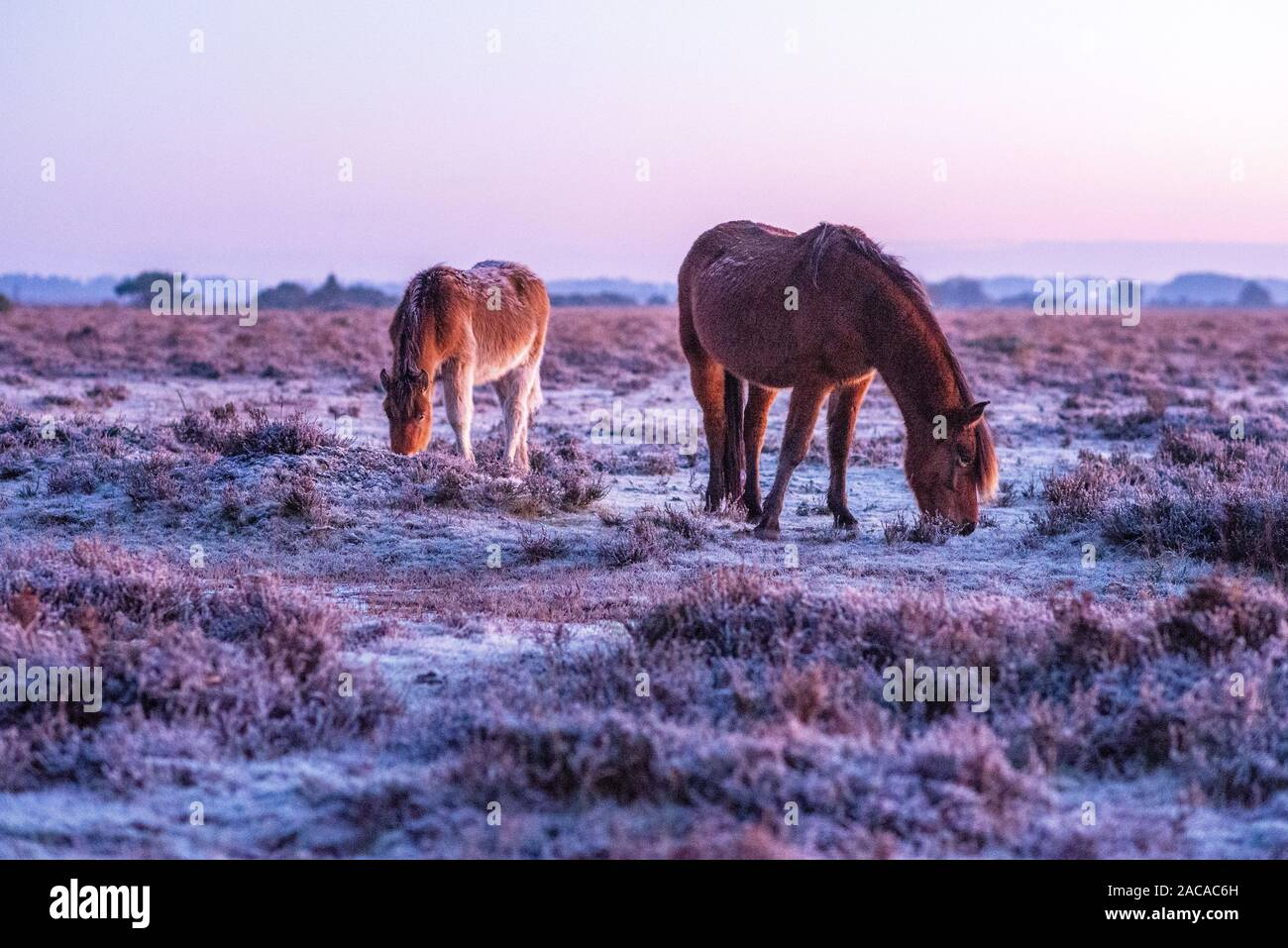 Godshill, New Forest, Hampshire, UK. 2nd December 2019, Weather: Meteorological winter is off to a cold and frosty start in The New Forest National Park with temperatures dropping to minus 3 by early morning. Hardy New Forest ponies graze on the frozen grass at sunrise. Credit: Paul Biggins/Alamy Live News Stock Photo