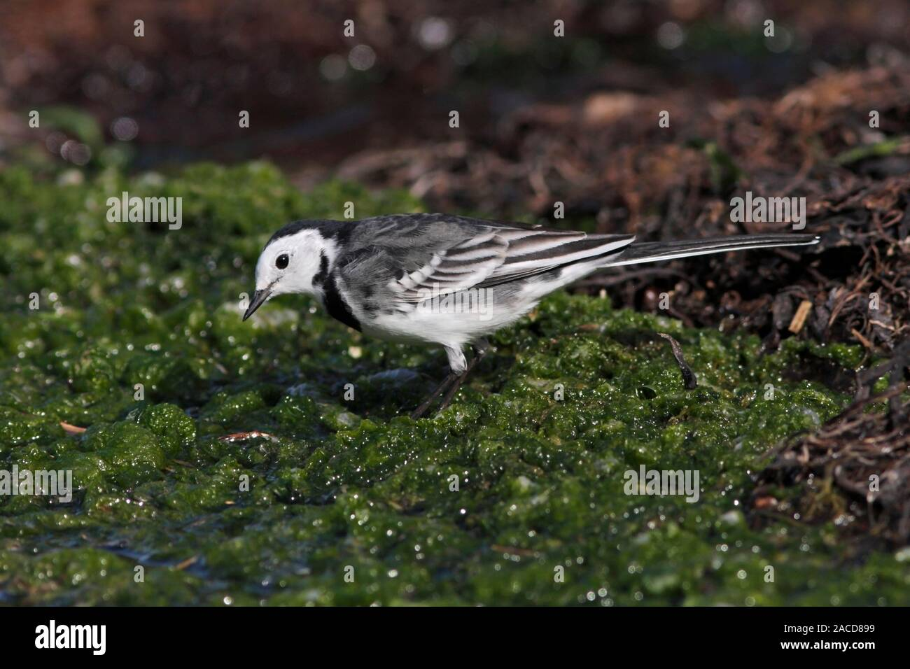 pied-wagtail-scotland-uk-2ACD899.jpg