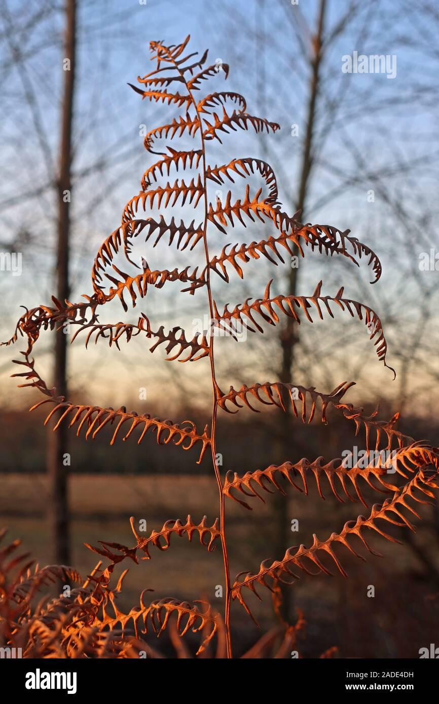 GoTonySmith,HotpixUK,@HotpixUK,Thelwall,Warrington,Cheshire,England,UK,WA4,autumn,wood,forest,woods,brown,nature,colours,of,Polypodiopsida,Polypodiophyta,a fern,ferns
