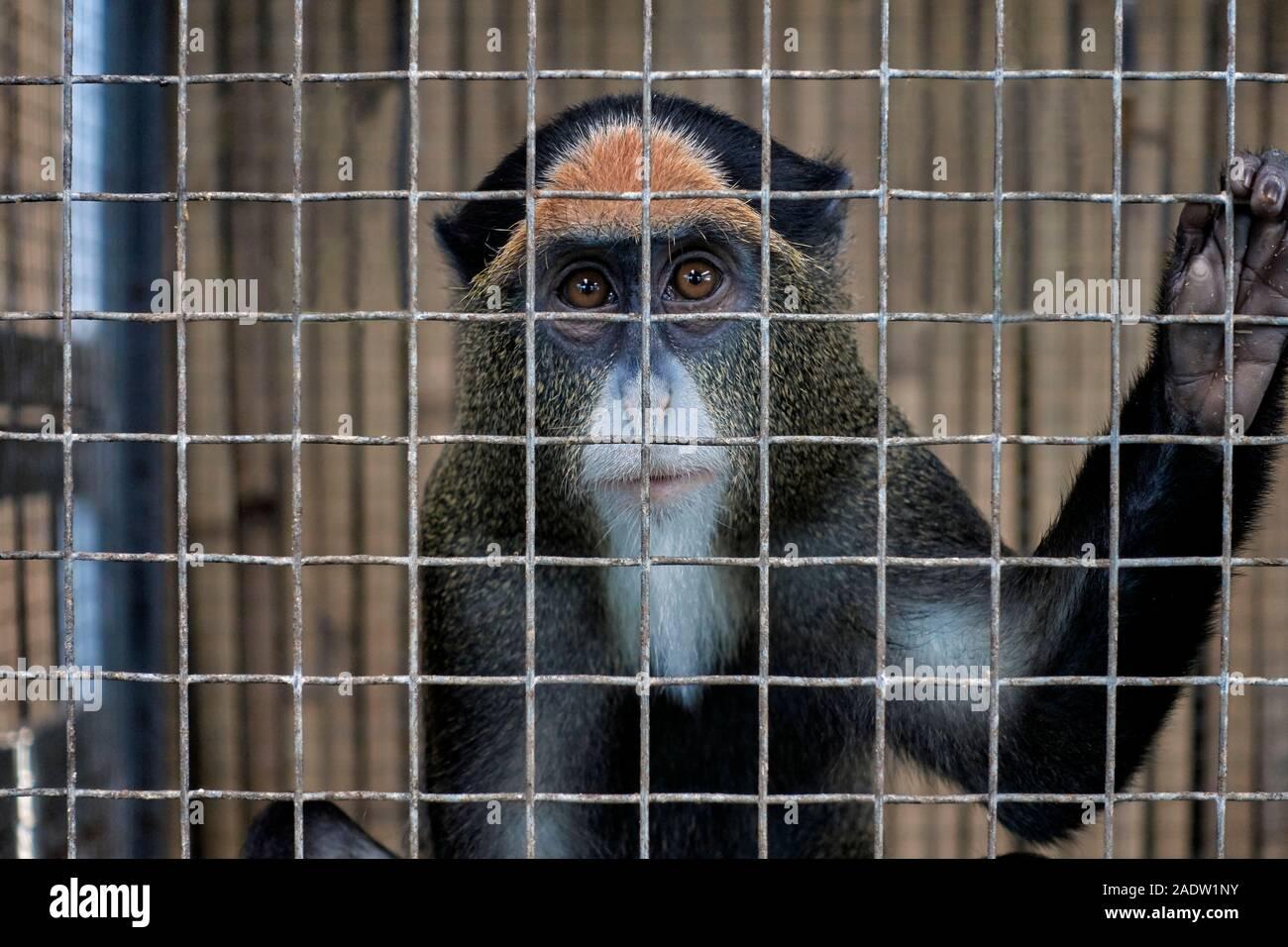 caged-animal-de-brazzas-monkey-2ADW1NY.j