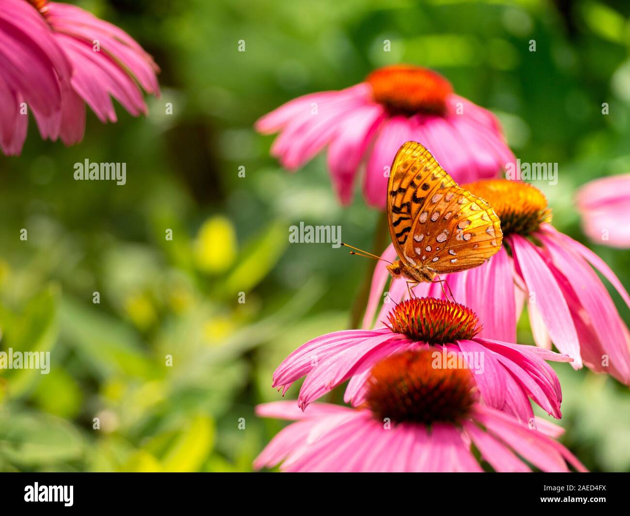 backlit-great-spangled-fritillary-butterfly-speyeria-cybele-aka-silverspots-pollinating-a-native-wildflower-a-purple-coneflower-echinacea-purpurea-2AED4FX.jpg