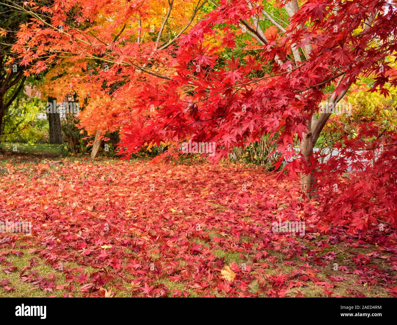 colorful-bright-gold-yellow-orange-and-red-japanese-maple-leaves-on-trees-acer-palmatum-and-scattered-on-the-grass-on-an-autumn-day-chappaqua-west-2AED4RM.jpg