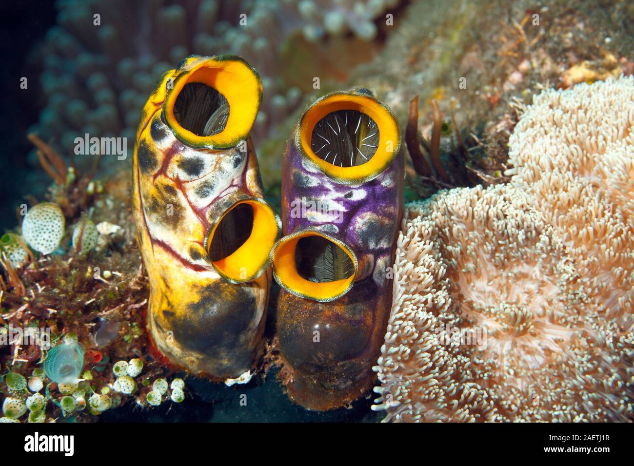 ox-heart-ascidian-also-known-as-gold-mouth-sea-squirt-or-ink-spot-sea-squirt-polycarpa-aurata-tulamben-bali-indonesia-bali-sea-indian-ocean-2AETJ1R.jpg