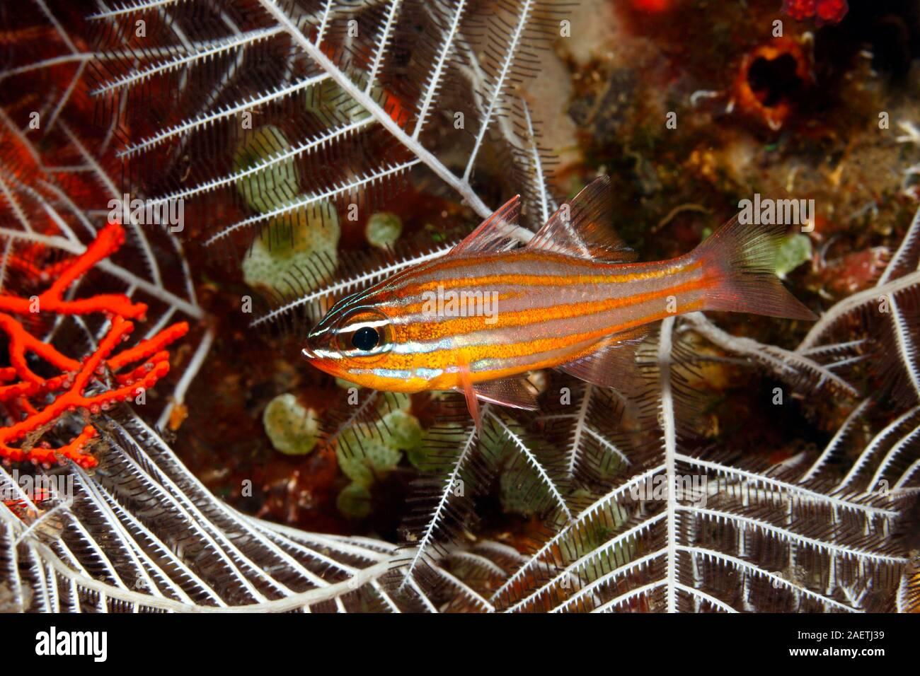 yellowstriped-cardinalfish-ostorhinchus-cyanosoma-previously-apogon-cyanosomatulamben-bali-indonesia-bali-sea-indian-ocean-2AETJ39.jpg