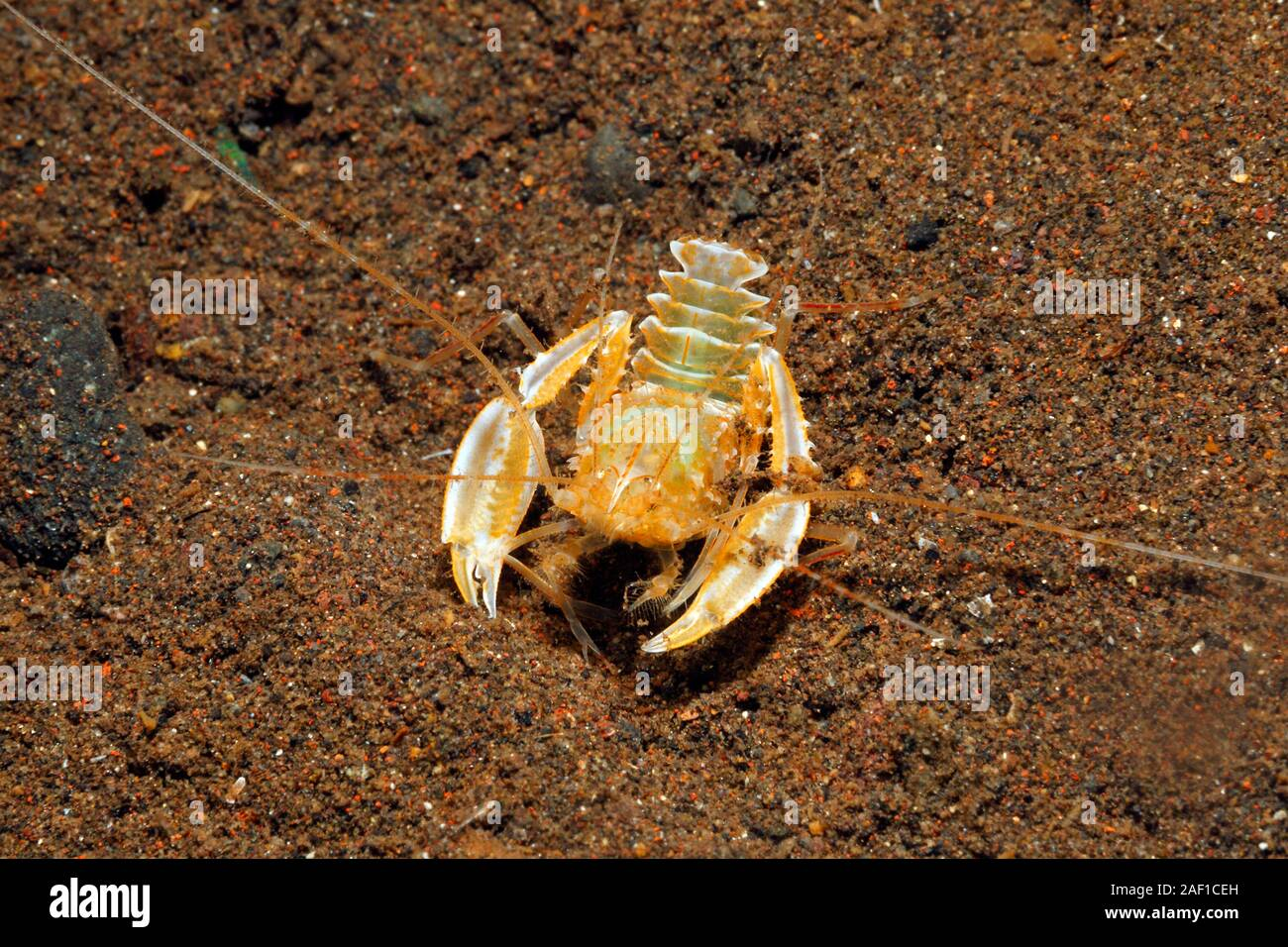 robust-boxer-shrimp-microprosthema-validum-tulamben-bali-indonesia-bali-sea-indian-ocean-2AF1CEH.jpg