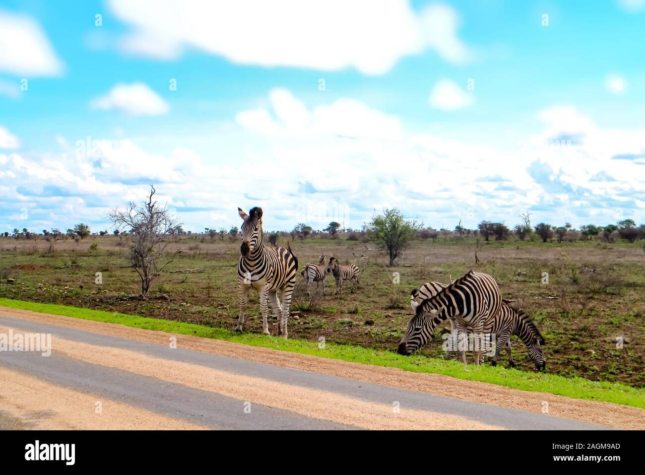 a-zebra-from-a-grazing-herd-is-crossing-