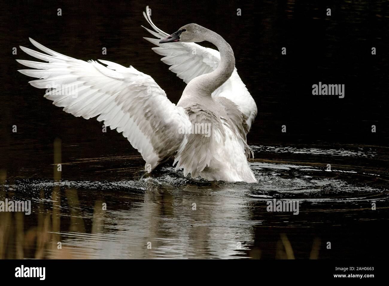 A young Trumpeter swan (Cygnus buccinator) flapping its wings spreading ripples in the water against a black background. Stock Photo