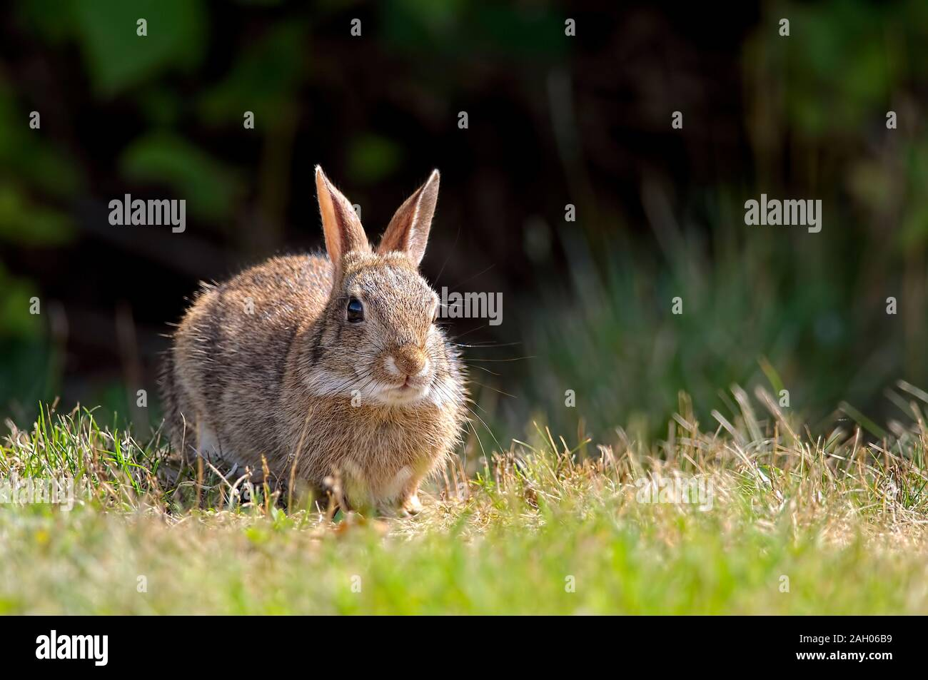 A Brush rabbit (Sylvilagus bachmani) or western brush rabbit is a type of Cottontail rabbit found in western coastal regions of North America. Stock Photo