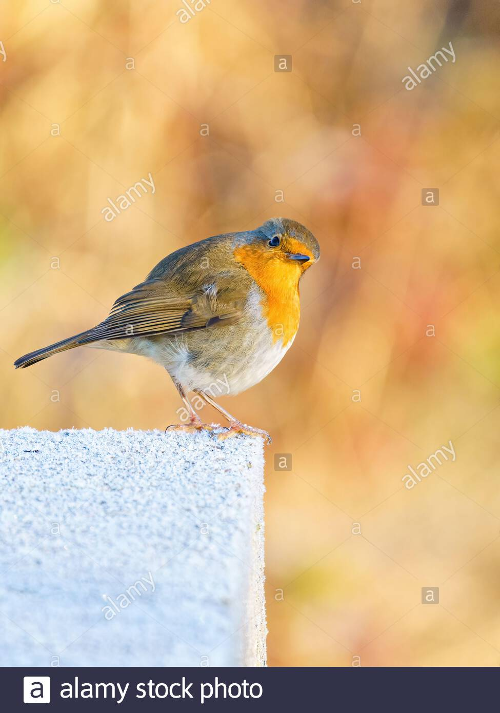 European Robin (Erithacus rubecula) perched on a frosty concrete block, looking quizical, taken in the UK Stock Photo