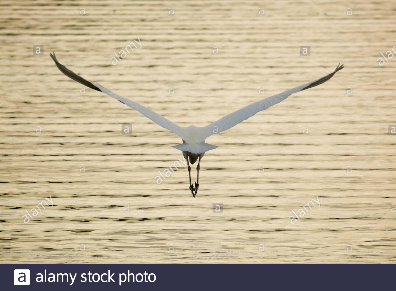Eastern Great Egret (Ardea alba modesta) flying over the Blackwood River in winter light at Augusta in south-west Western Australia Stock Photo