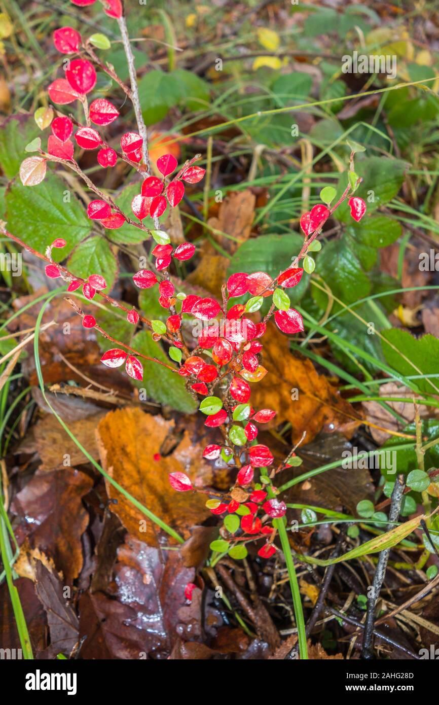 Shrub growing in Woodland Herefordshire UK. November 2019 Stock Photo