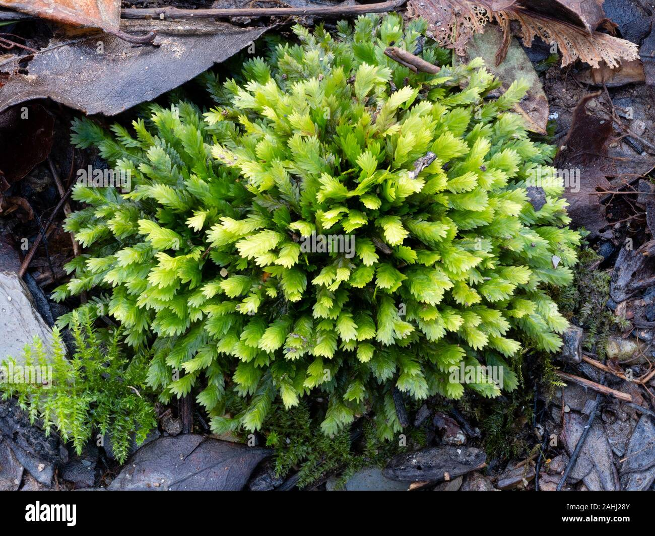 compact-mounded-cushion-of-the-common-pocket-moss-fissidens-taxifolius-var-taxifolius-in-a-uk-woodland-2AHJ28Y.jpg